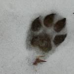 snowy paw print