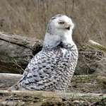 Snowy Owl - Alert in the wild 07