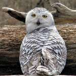 Snowy Owl Beauty  (in the wild)- March 07
