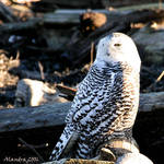 Snowy Owl Female in the wild