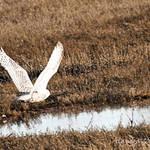 Snowy Owl - Fly Free