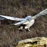 Snowy Owl Pushing off from Log (note footpads :)