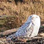 Snowy Owl juvenile - upward gaze