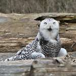 Snowy Owl Laughing at Photographers