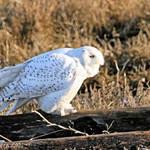 Snowy Owl Male - wild & free