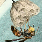 Solitary Wasp  Preparing Nest