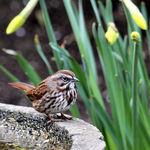 "Song Sparrow & Daffodils - ""Easter Greetings"""