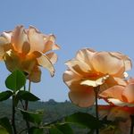 Sonoma Valley Roses