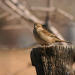 Sparrow On Post