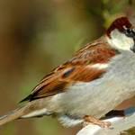 Puffy Sparrow