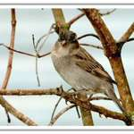 House sparrow 1