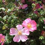 Species ( Wild ) Roses