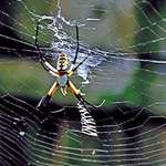 Orb Web Spider  3