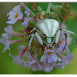 Crab Spider on Butterflybush