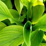 Splash of Hosta
