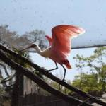 Rosette Spoonbill