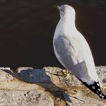 spotted  tailed gull