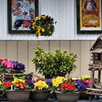 Springtime for Sale - primulas and birdhouse