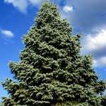 Mighty Blue Spruce