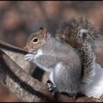 Squirrel imn Tree