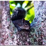 Squirrel Looking Out Between Branches Of Tree