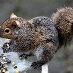 Squirrel - Sweet Success