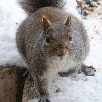Squirrel with Parting Stare