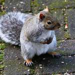 Squirrel with Boxing Gloves