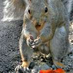 Squirrel with Nut in Mouth