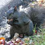 Squirrel with nut in paws