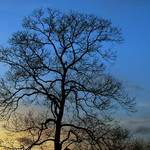 Lone Evening Tree