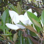 Single Magnolia
