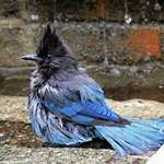 Stellers Jay Bathing