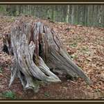 Weathered Stump