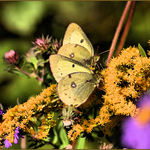 Sulfur Butterflies on Goldenrod