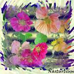 Flowers of Summer - Nasturtiums