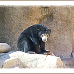 Sun Bear, San Diego Zoo, California.