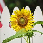 Sunflower against A White Fence