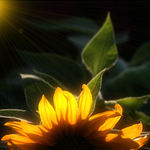 Sunflower Backlighted