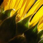 Sunflower Gold