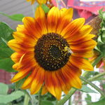 Sunflower with Pollen-Covered Bee