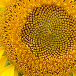 macro-sunflower