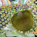 Last Days of a Sunflower!