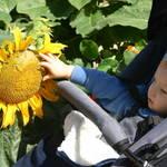 Sunflower Season.