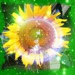 Sunflower Fantasy