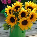 Sunflowers in Watering Can
