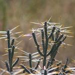 Sunlit Needles