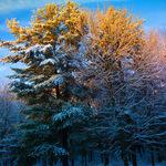 Sunlit Treetops