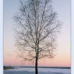 The solitary birch