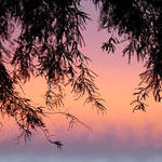 Sunset through Mesquite Tree
